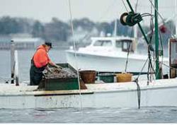 メリーランド州ソロモンズのパタクセント川で桁網を仕掛け、船上でカキをより分 ける漁師ジョー・ストーン(AP/WWP)