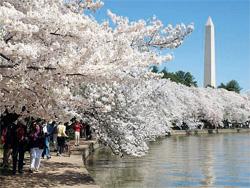 ワシントンD.C.のタイダルベイスンに咲く日本生まれの桜(© Courtesy of Tim Brown)