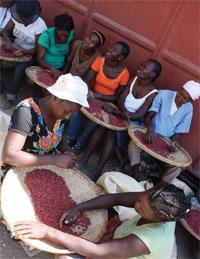 栄養豊富な食品「ノウリマンバ」を作るためにピーナツの仕分けするハイチの女性たち。ハイチの農民がピーナツ栽培とノウリマンバ生産に乗り出すのをPIHは支援した